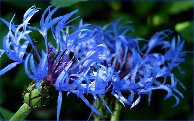 Chabry zostały mi z lata więc niech się niezakurzają na moim dysku #kwiaty #chabry