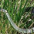 Zaskroniec, 30.09.2007, Krajkowo (Wielkopolska) #Zaskroniec #gady #węże #NatrixNatrix