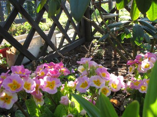 #kwiaty #pierwiosnki #wiosna #ogród