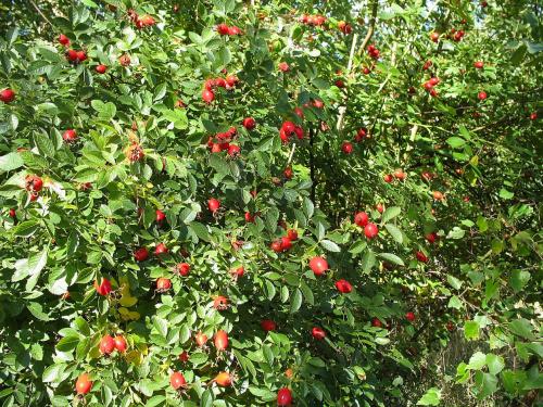 #las #krzewy #DzikaRóża #jesień