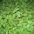 #chwasty #liście #zieleń #pokrzywa #wiosna #wieś #Chomiąża