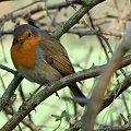 Rudzik #Ptaki #Rudzik