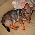 MÓJ PIESEK MIKI. MA 6 MIESIECY. #pies #mały #szczur #zwieżę