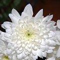 #kwiaty #dahlia #biel