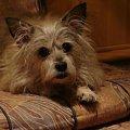 ... #pies #piesek #pieseczek #piesio #zwierzęta #kudłaty #pikuś