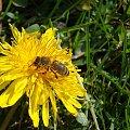#kwiaty #pszczoła #MniszekLekarski