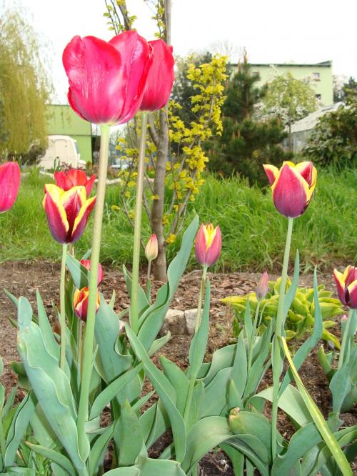 Roślinki prosto z ogródka.Tutaj też jest lampa błyskowa. #KwiatyRoślinyTulipanyOgród