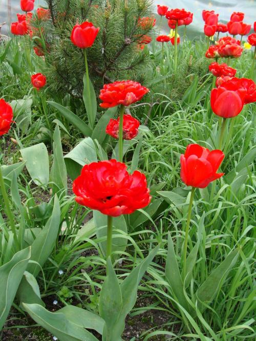 Roślinki prosto z ogródka.Tulipanki. #czerwone #kwiatki #kwiatuszki #kwiaty #ogród #rośliny #tulipany