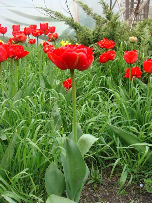 Roślinki prosto z ogródka.Tulipanki. #kwiatki #kwiatuszki #kwiaty #ogród #rośliny #czerwone #tulipany