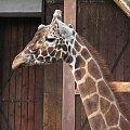 #żyrafa #zoo #zwierzęta #wrocław
