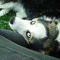 oczy niebieskie mowia wprost... #pies #oczy