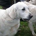 #Zwierzęta #zwierzę #ssaki #ssak #psy #pies #psów #rasowych #wystawa #sudecka