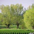 Wierzby nad Wisłą #drzewa #pejzaż #wierzby