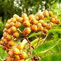Jarzębina (wersja kolorowa) #jarzębina #drzewa #ogród #rośliny #natura #przyroda
