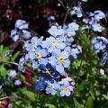#kwiaty #niezapominajki #ogrody