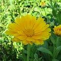 Kwiat w lecie #kwiat #przyroda #żółty #lato
