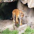 Tygrysek #Koty #tygrys