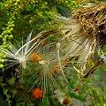 Będzie na przyszly rok! #nasiona #rośliny #wiatr #makro