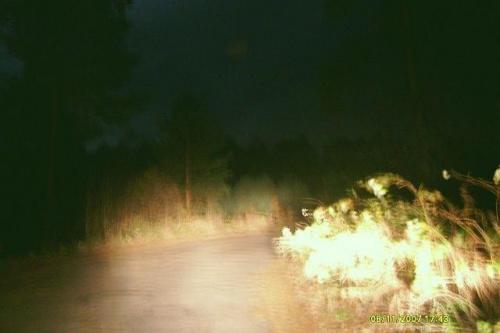 Las w światłach samochodu.