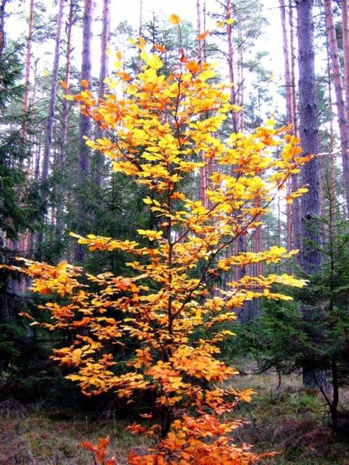 #natura #przyroda #drzewa #las #lasy #jesień #liście #huba #brzoza #sosna