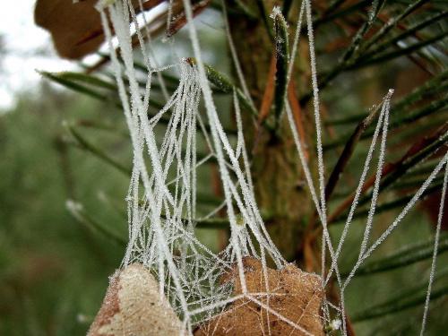 oszroniona pajęczynka...niestety tylko taką znalazłam... #las #szron #przyroda #natura