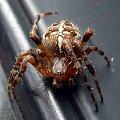 #pająk #pająki #krzyżak #makro #owad #natura