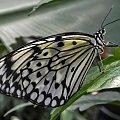 Bylo porzegnanie zimy to teraz na przywitanie wiosny - Biala nimfa... #BialaNimfa #evasaltarski #motyl #owad