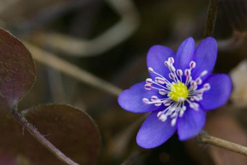 :)http://www.facebook.com/pages/Kamil-Kasprzak-Fotografia/589255481101158 z zaproszeniem... #flora #kwiaty #makro #natura #przylaszczka #PrzylaszczkaPospolita #przyroda #wiosna