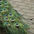 Miliony oczu #ogon #Paw #zwierzeta