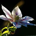 Clematis #kwiat #ogród #roślina