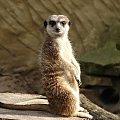 Zapatrzona surykatka #Zwierzęta #surykatka #ZOO #fauna #animals