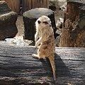 Surykatka wśród pni drzew #Zwierzęta #animals #fauna #ZOO #surykatka